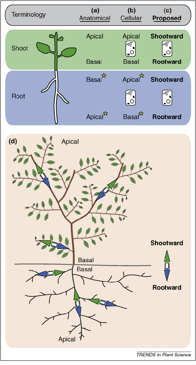 Shootward And Rootward Peak Terminology For Plant Polarity