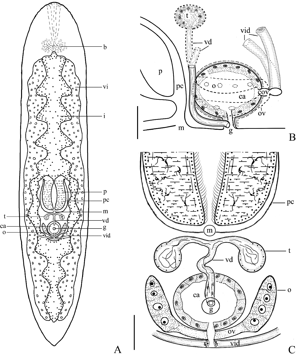 A new species of the genus bothrioplana platyhelminthes figure 3 pooptronica Images