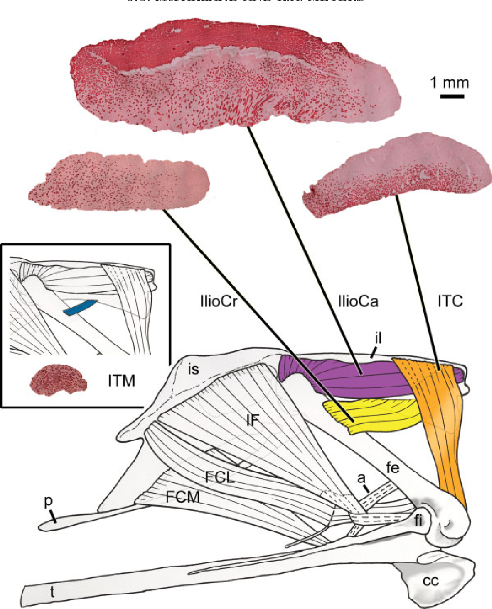 Figure 4 from Anatomy and histochemistry of hindlimb flight posture ...