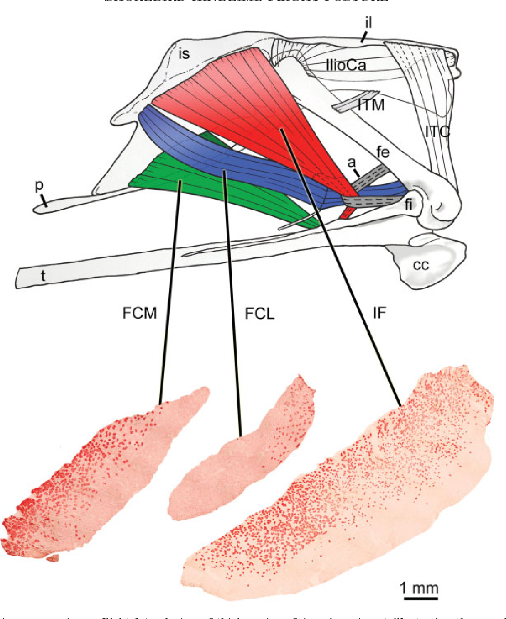 Figure 3 from Anatomy and histochemistry of hindlimb flight posture ...
