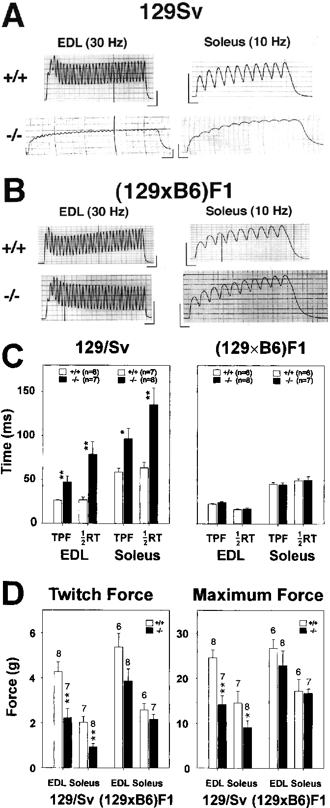 Fig. 2A–D Skeletal muscle properties of Kv3.1–/– mice vary with the genetic background. EDL and soleus muscles from Kv3.1+/+ and Kv3.1–/– 129/Sv mice (A) and (129/Sv×C57BL/6)F1 hybrids (B) were subjected to isometric contractions induced by electrical stimulation at 30 Hz (EDL) and 10 Hz (soleus). Contraction and relaxation were not altered in muscles of F1 hybrids; in contrast, Kv3.1–/– 129/Sv muscles were slower and mechanical summation occurred at lower frequencies. (C) Time-to-peak-force (TPF) and half-relaxation time (1/2RT) for a single twitch and (D) force generation were measured for a single twitch and during tetanic stimulation (at 150 Hz). There were no significant differences between wild-type and Kv3.1–/– muscles of (129/Sv×C57BL/6) F1 mice; in contrast, TPF and 1/2RT values were significantly prolonged and force generation was reduced in Kv3.1–/– muscle of 129/Sv mice (the data for TPF and 1/2RT for 129/Sv are from [16]). Data were analyzed by a two-tailed Student's t test (*P<0.05; **P<0.01); the sample sizes are indicated at the top of the bars in panel D. The ≅25% reduction in twitch force for F1 extensor digitorum longum (EDL) muscle is marginally insignificant (P=0.07)