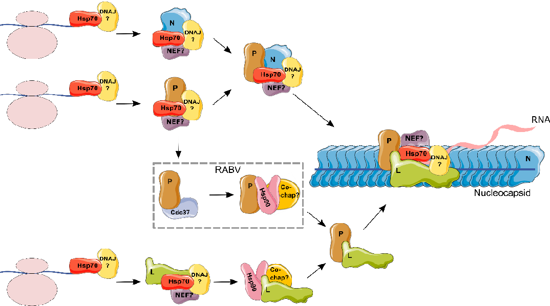 Figure 2. Model for the role of chaperones in the formation of the replication and transcription complex in Mononegavirales. Hsp70 has been shown to be part of the nucleocapsid (NC; demonstrated for RSV, RABV, and MeV) and to individually bind different proteins that comprise the NC: N (RSV, MeV, EBOV, and RABV), P (MuV, and RSV) and L (MuV) (see text for references). As the function of Hsp70 is dependent on DNAJ proteins and NEFs, these are assumed to form part of the complex but remain unknown (indicated by a question mark). Hence, it is likely that Hsp70, together with its cochaperones, is required for the folding and/or assembly of N, P, and L. An intermediate complex between N, P, Hsp70, and co-chaperones prior to NC incorporation is possible. On the other hand, Hsp90 was shown to bind the viral polymerase (L; demonstrated for RSV, MeV, and MuV). Overall, Hsp90 co-chaperones remain largely undefined, with the exception of CDC37, which was shown to bind P from RABV. As Hsp90 works downstream of Hsp70, it is assumed that L binds Hsp70 prior to interacting with Hsp90. Finally, following the assembly of L with P, Hsp90 was shown to no longer be required.