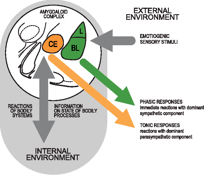 Figure 13 from Functional internal complexity of amygdala: focus on