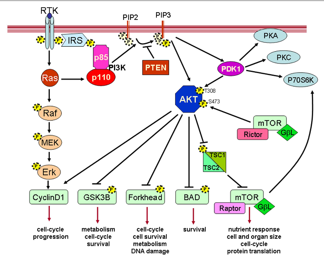 Akt inhibitors in cancer treatment: The long journey from