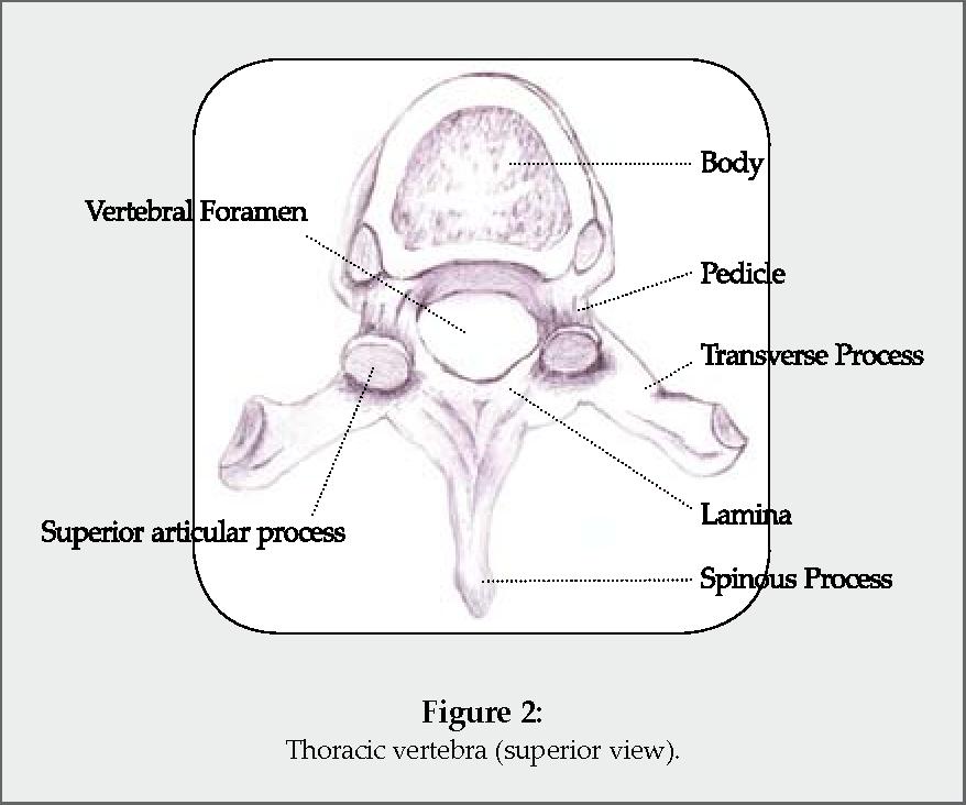 Spinal Anatomy Semantic Scholar