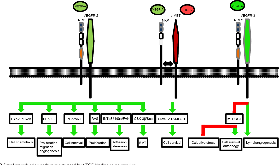Figure 3 Signal transduction pathways activated by veGF binding to neuropilins. Notes: Among the growth factors that neuropilins can bind, VEGF is the most described. VEGF has autocrine and paracrine functions and influences tumor cells as well as cells from the tumor microenvironment. veGF/NRP signaling increases adhesion, migration/invasion, proliferation, and survival, and inhibits differentiation of cells during angiogenesis, lymphangiogenesis, tumor growth, and metastasis. while neuropilins can bind veGF-A, -B, and -C, most mechanisms that have been described involve veGF-A and -C. The receptor complexes are either NRP-veGFR-2 or NRP-cMeT for veGF-A. For veGF-C, the receptor complex contains NRP and veGFR-3. Green arrows: activation; red bars: inhibition. Abbreviations: eMT, epithelial to mesenchymal transition; eRK, extracellular signal-related kinase; FAK, focal adhesion kinase; HGF, hepacyte growth factor; iNT, intracellular environment; mTORC1, mammalian target of rapamycin complex 1; NRP, neuropilin; Pi3K, phosphoinositide 3 kinase; STAT, signal transducer and activator of transcription; veGF, vascular endothelial growth factor.