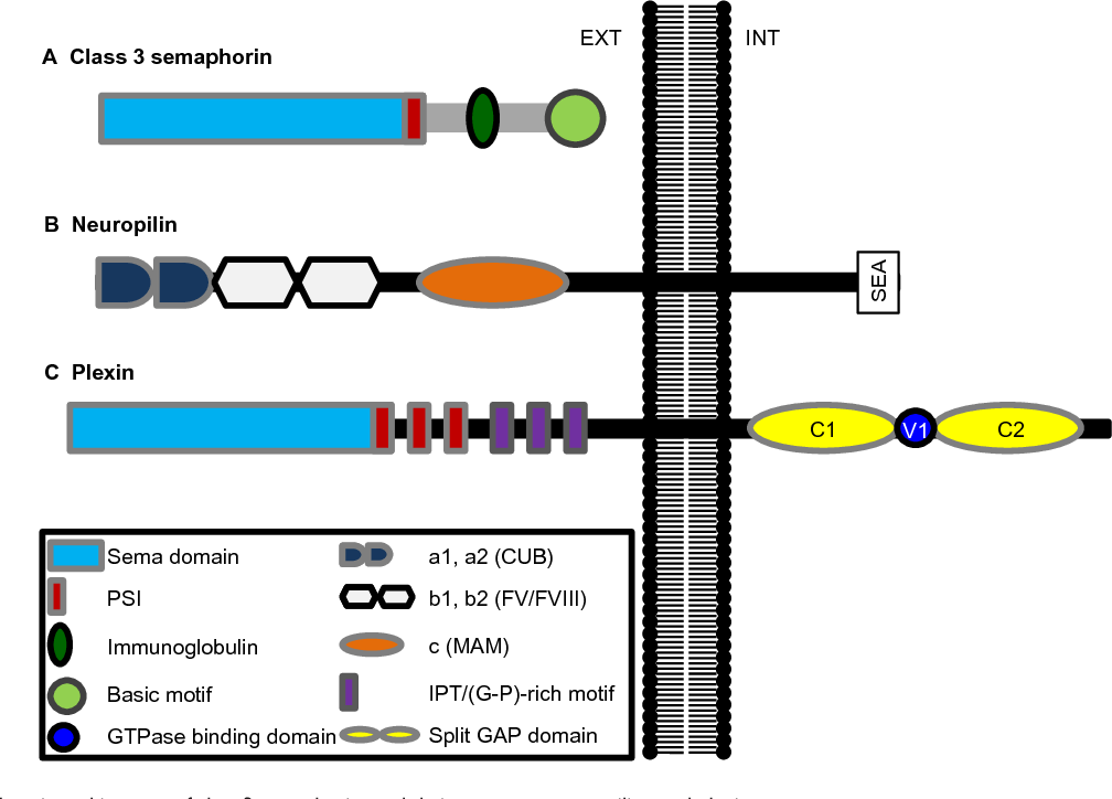 Figure 1 General domain architecture of class 3 semaphorins and their receptors, neuropilins, and plexins. Notes: (A) Semaphorins are characterized by a 500 amino acid Sema domain. in addition, class 3 semaphorins contain a PSi, an immunoglobulin-like domain, and a C-terminal basic-rich domain that is unique to this class of semaphorins. (B) Neuropilins are single-pass transmembrane proteins. They contain two complement binding (CUB), or a1 and a2 domains, that interact with class 3 semaphorins. They also contain two Fv/Fviii coagulation factor-like domains (or b1 and b2 domains). Class 3 semaphorins bind b1 but not b2 domain, while growth factors containing a heparin-binding domain, such as veGF, interact with both. The 'MAM', or c domain, is thought to have a role in neuropilin dimerization and does not interact with semaphorins or growth factors. The intracellular sequence of some neuropilin isoforms contains a C-terminal SeA sequence that is thought to be the only motif capable of activating downstream signaling pathways. (C) Plexins are single-pass transmembrane proteins characterized by a 500 amino acid Sema domain. in their extracellular domain, like semaphorins, they also contain PSi motifs and iPT/(G-P)-rich motifs that are involved in the interaction with semaphorins. The intracellular sequence is unique in that it contains a split GAP domain (C1 and C2) separated by a GTPase-binding domain. Abbreviations: eXT, extracellular environment; GAP, GTPase-activating protein; G-P, glycine-proline; iNT, intracellular environment; iPT, immunoglobulin-plexintranscription; PSi, plexin, semaphorin, and integrin; veGF, vascular endothelial growth factor.