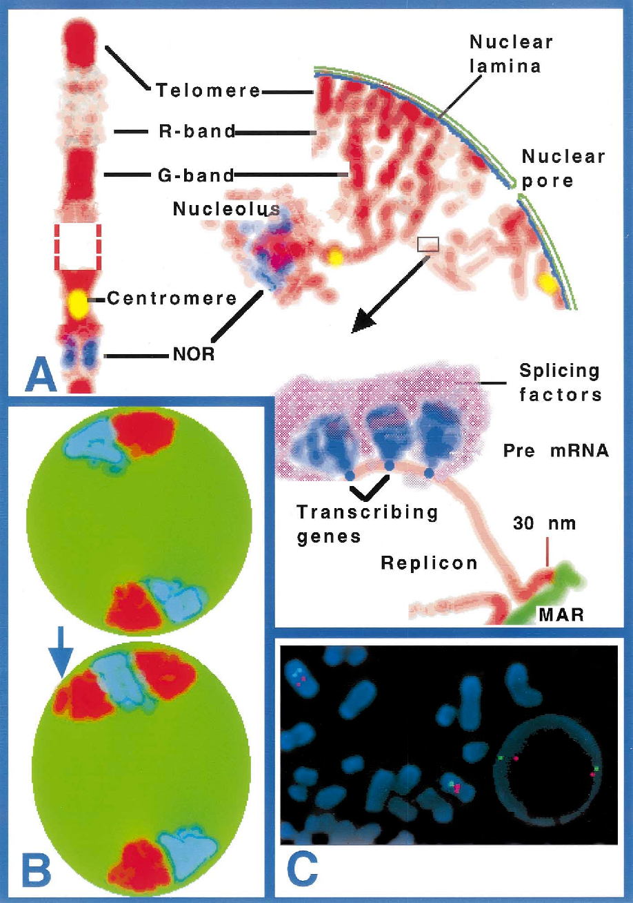 Structure and function of the nucleus: anatomy and physiology of ...