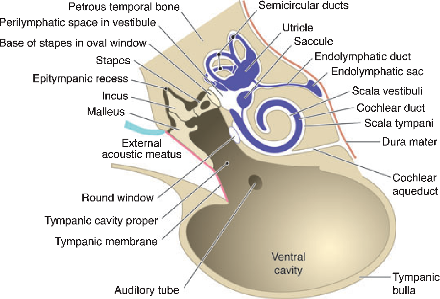Figure 2 From Anatomy And Physiology Of The Canine Ear Semantic