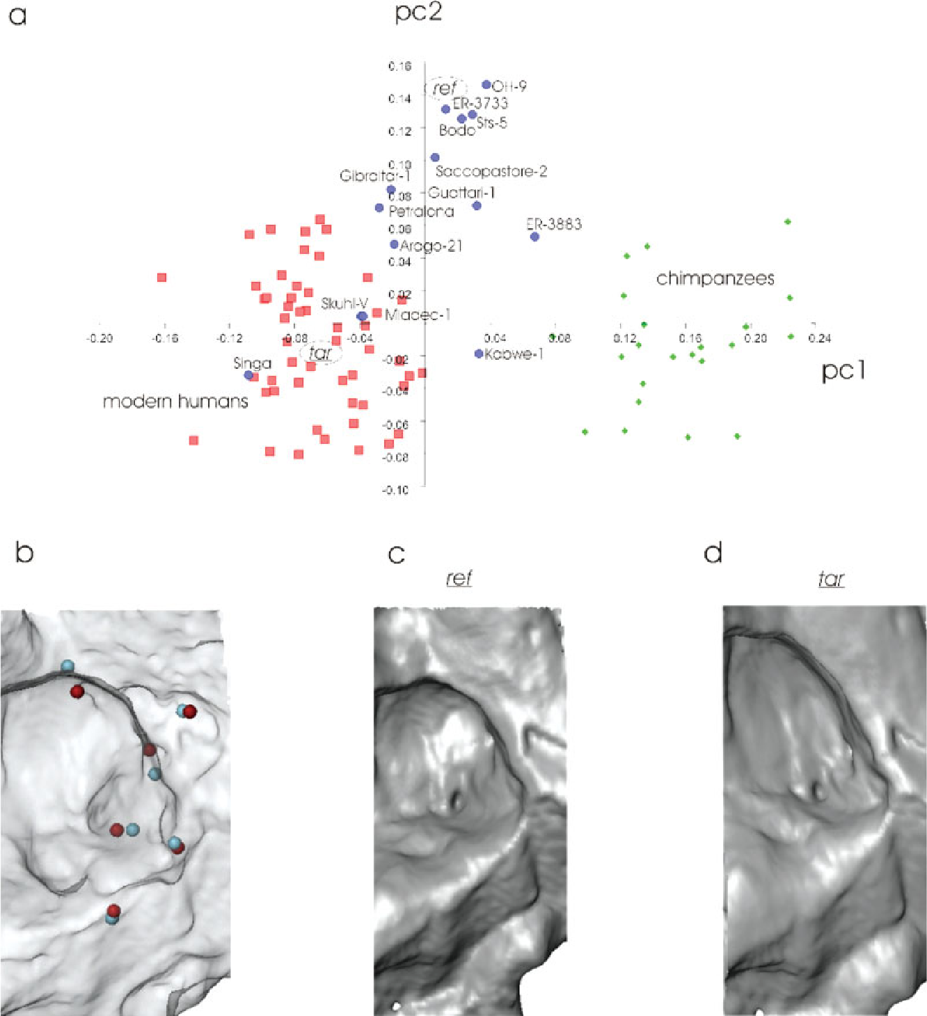 Middle Cranial Fossa Anatomy And The Origin Of Modern Humans