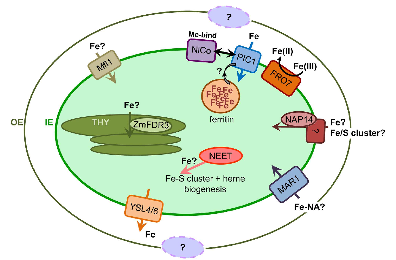Chloroplast iron transport proteins function and impact on plant figure 1 ccuart Gallery