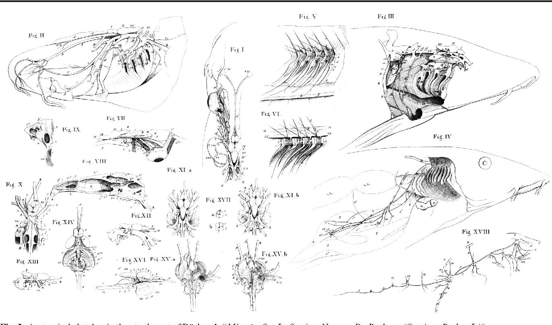 """Figure 3 from Georg Büchner, Sigmund Freud and the """"Schädelnerven ..."""