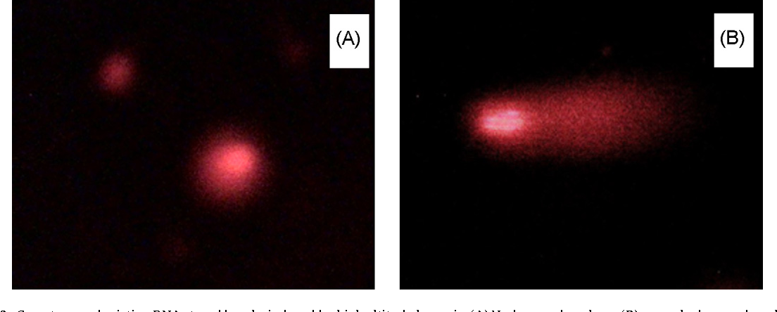 Fig. 6. Comet assay depicting DNA strand breaks induced by high a