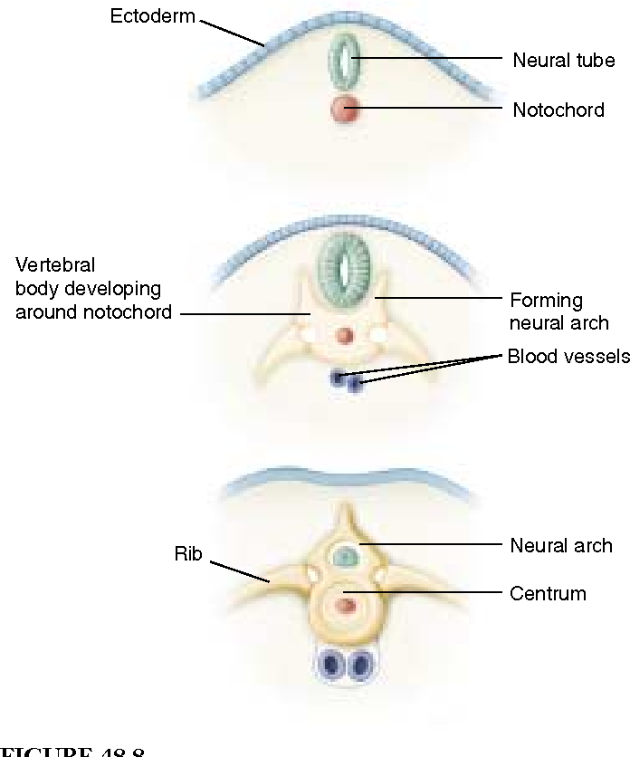 Figure 488 From Attaching Muscles To An Internal Framework Greatly