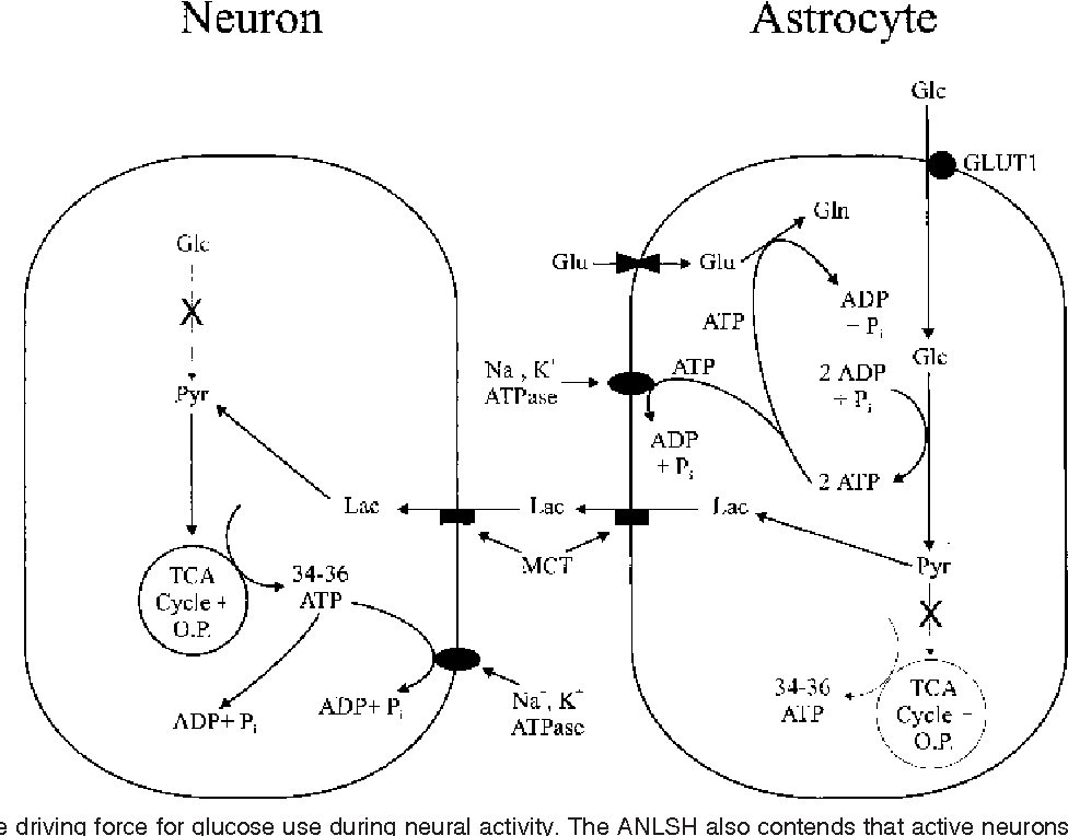 Energy substrates for neurons during neural activity a critical figure 2 ccuart Image collections