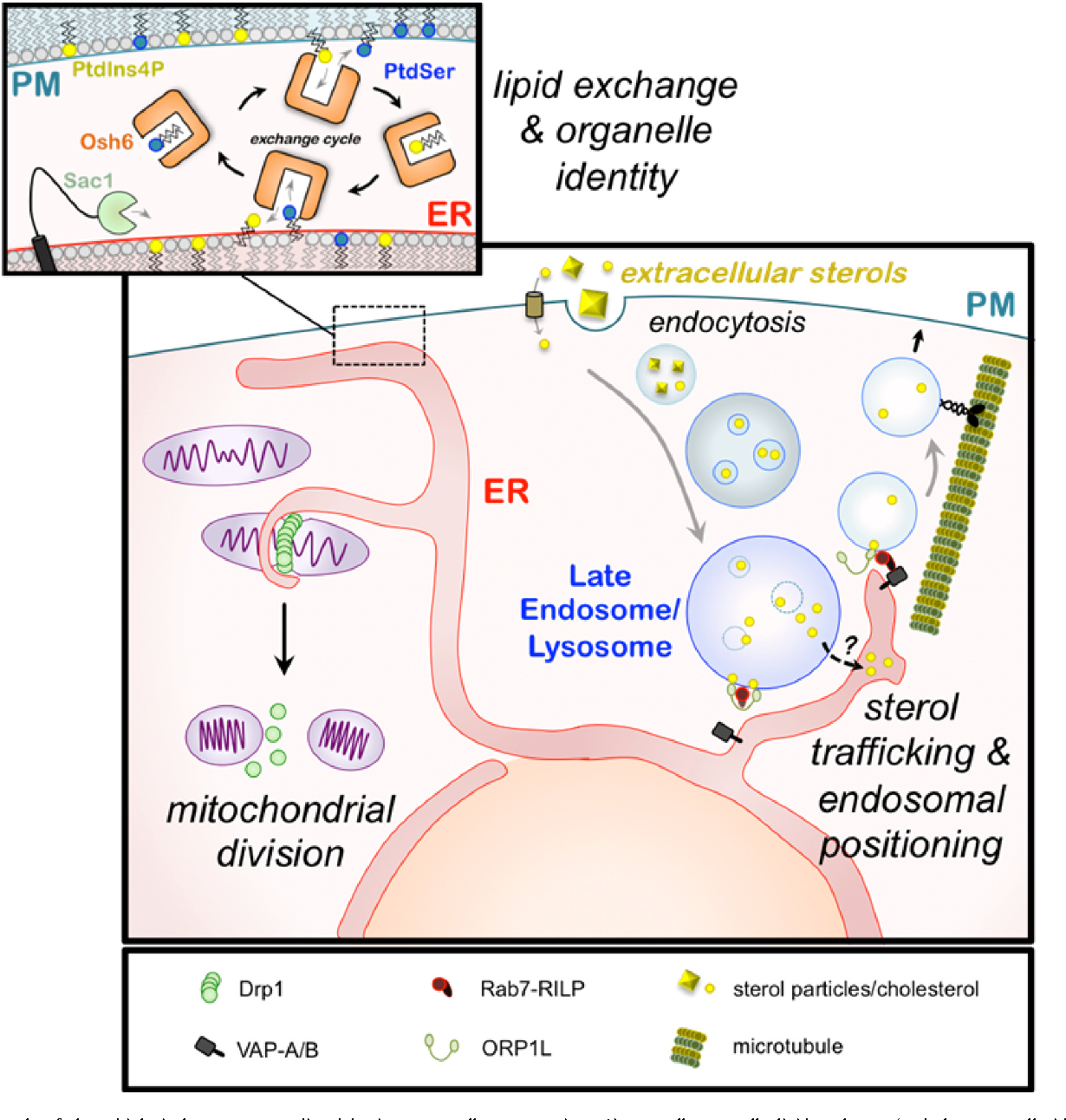 Figure 1 From Organelle Remodeling At Membrane Contact Sites