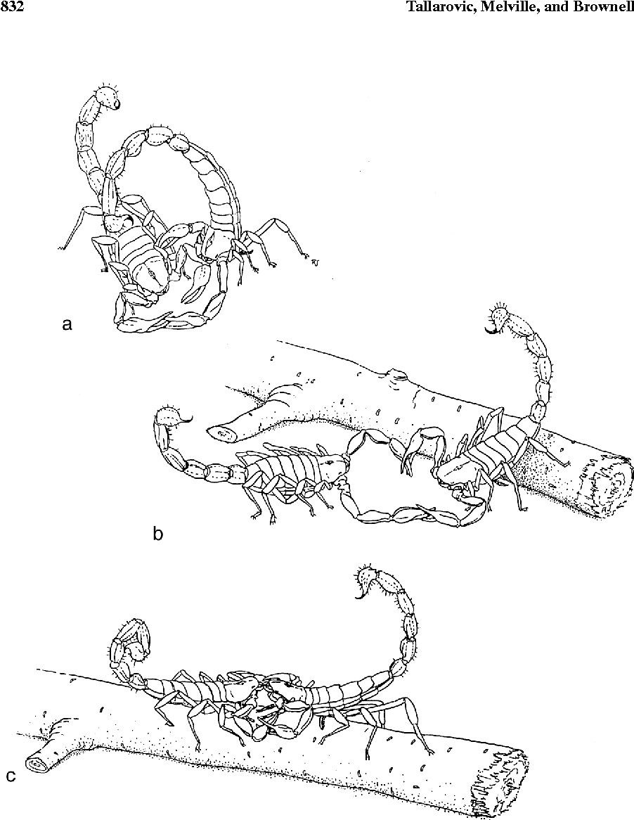 Courtship And Mating In The Giant Hairy Desert Scorpion Hadrurus