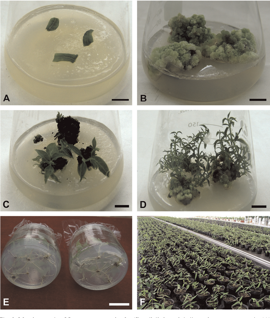 Fig. 2. Morphogenesis of Lonicera macranthoides 'Jincuilei' through indirect shoot organogenesis. (A) Leaf explants of 'Jincuilei' cultured on a callus induction medium 3 d after inoculation. (B) Callus proliferation occurred in leaf explants cultured on B5 medium containing 4.4 mM 6-benzyladenine and 2.3 mM 2,4-dichlorophenozyacetic acid 4 weeks after culture. (C) Adventitious shoots initiated from calluses and grew in a shoot induction medium. (D) The vigorous growth of adventitious shoots occurred in B5 medium containing 0.9 mM kinetin and 5.4 mM a-naphthalene acetic acid. (E) Adventitious shoots rooted in half-strength Murashige and Skoog medium containing 14.8 mM 3-indolebutyric acid. (F) Plantlets were grown in containers with a substrate comprised of 20% clay soil, 40% carbonized rice hull, and 40% coarse sand based on volume in a shaded greenhouse under a maximum photosynthetically active photon flux density of 200 mmol m–2 s–1. Bars = 10 mm.