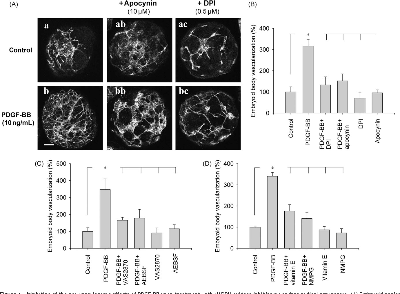 Figure 4 Inhibition of the pro-vasculogenic effects of PDGF-BB upon treatment with NADPH oxidase inhibitors and free radical scavengers. (A) Embryoid bodies immunostained for CD31: (a) control, (ab) treated with apocynin, (ac) treated with DPI, (b) PDGF-BB-treated, (bb) treated with PDGF-BB in the presence of apocynin, and (bc) treated with PDGF-BB in the presence of DPI. The bar represents 200 mm. (B and C) Quantification of CD31-positive vascular structures under conditions where embryoid bodies remained either untreated (control) or were treated with either apocynin (10 mM) or DPI (1 mM) (B) or with either VAS2870 (50 mM) or AEBSF (200 mM) (C). (D) Effects of the free radical scavengers vitamin E (10 mM) and NMPG (10 mM) on PDGF-BB-induced vasculogenesis. *P , 0.05, significantly different as indicated.