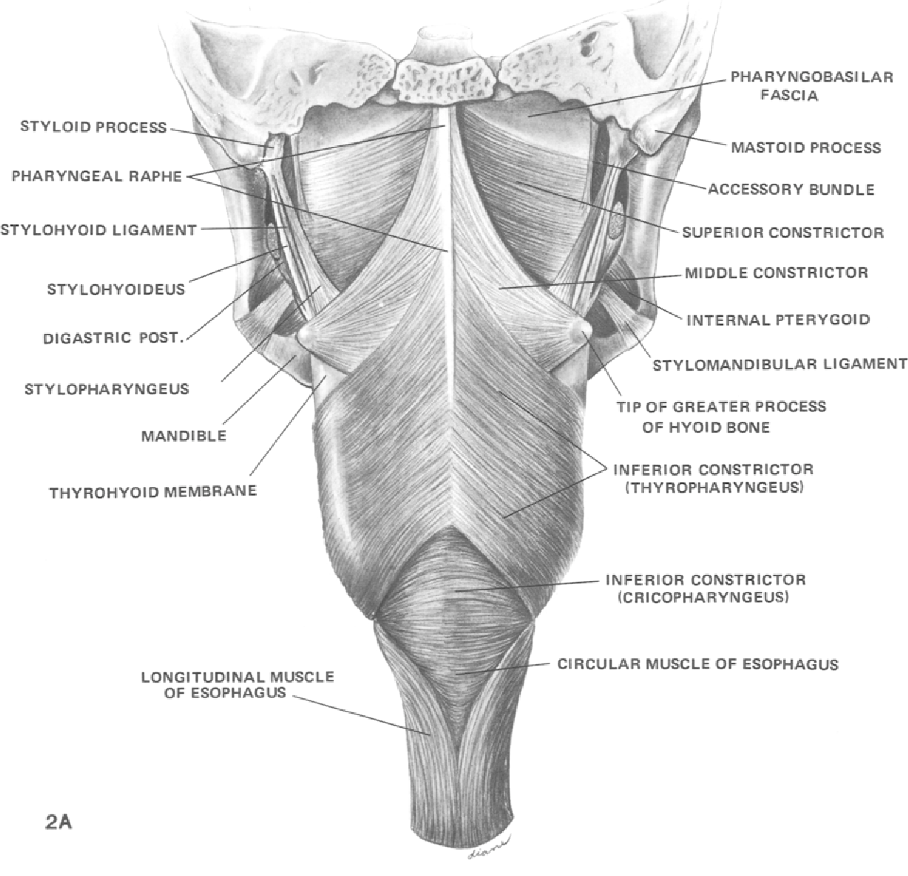 Anatomy And Physiology Of The Pharynx Semantic Scholar