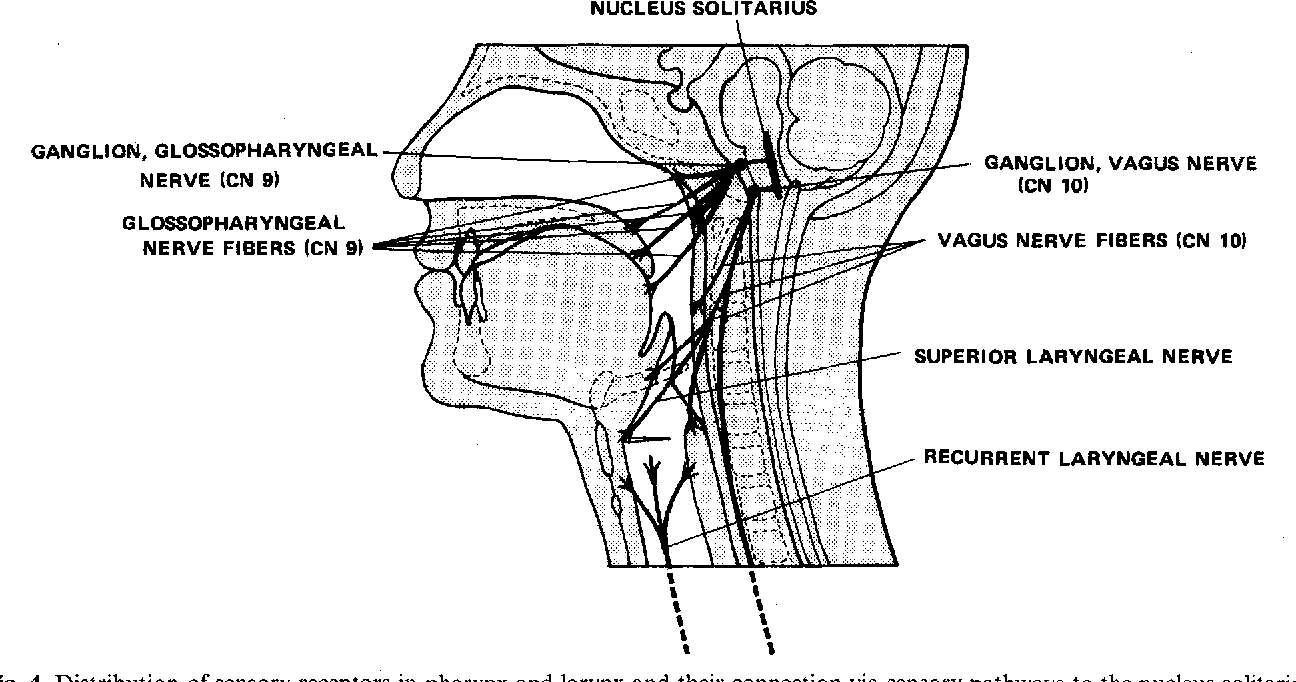 Anatomy and physiology of the pharynx - Semantic Scholar