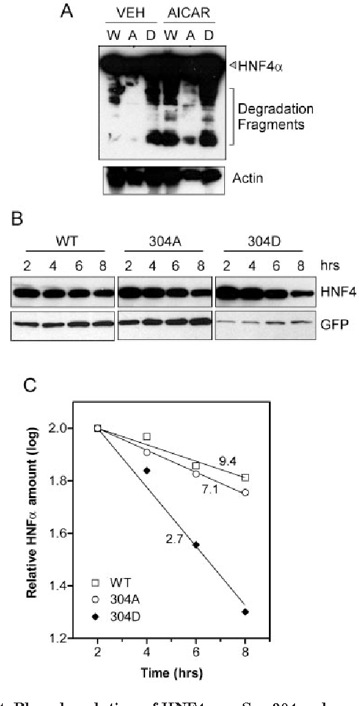 FIG. 4. Phosphorylation of HNF4 on Ser-304 reduces protein stability. A, Western blot showing the effect of AMPK activation on the appearance of proteolytic degradation fragments of HNF4 from CHO cells transiently transfected with the indicated pH4c series construction (W, wild type; A, S304A; D, S304D). These construct(ion)s produce C-terminal FLAG-tagged HNF4 . AICAR (500 M) was present as indicated during the last 24 h of the transfection, with a second addition 2 h before the cells were harvested. Upper panel, anti-FLAG antibody, showing full-length HNF4 and smaller molecular weight fragments. Lower panel is the same membrane reprobed with anti- -actin antibodies as loading control. B, Western blot showing the effect of S304 mutations on the rate of HNF4 protein degradation. CHO cells transiently transfected with pH4i plasmids (pH4i-WT, pH4i-304A, and pH4i-304D) producing N-terminal FLAG-tagged HNF4 protein under the control of a tetracycline-regulated promoter. Cells were treated with doxycycline 18 h post-transfection to shut off expression of HNF4 protein and harvested at the indicated times thereafter. Western analysis was performed using an anti-FLAG antibody to detect HNF4 and reprobed with anti-GFP antibody to detect the amount of EGFP protein produced from a co-transfected pEGFP-N1 reference plasmid. C, results from a densitometric analysis of the blots in B. The HNF4 :GFP ratio was calculated for each lane, and the data for each construction was normalized to the 2-h time point that was set to 100. The data are plotted as the log values of the relative HNF4 protein amount. The calculated half-life values from regression lines are shown in hours.