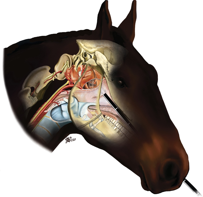 Guttural pouch diseases causing neurologic dysfunction in the horse ...