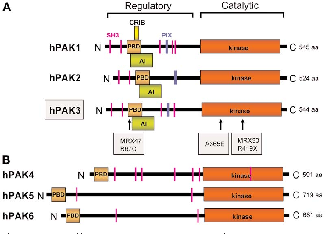 Central Nervous System Functions Of Pak Protein Family Semantic