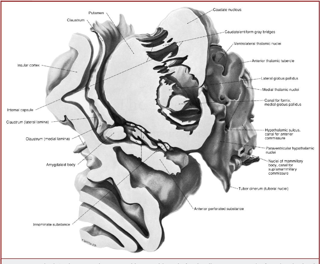 Figure 5 from Josef Klingler\'s models of white matter tracts ...