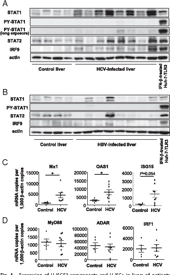 Fig. 1. Expression of U-ISGF3 components and U-ISGs in livers of patients with chronic HCV infection. (A and B) Immunoblotting of STAT1, PY-STAT1, STAT2, and IRF9 was performed with control livers without viral hepatitis (n = 4) and HCV-infected livers (n = 8) (A) or HBV-infected livers (n = 8) (B). As a positive control for PY-STAT1, Huh-7–TLR3 cells were treated with IFN-β for 30 min. The Upper blot of PY-STAT1 was obtained after exposure for the same time as the blot of STAT1, and the Lower blot of PY-STAT1 was obtained after much longer exposure to detect the minimal amount of PYSTAT1. (C and D) The expression of U-ISGs (C) and ISGs known to be regulated only by ISGF3 (D) was examined by TaqMan real-time quantitative PCR in control livers without viral hepatitis (n = 5) and HCV-infected livers (n = 8). The data represent the means ± SD, *P < 0.05 compared with control.