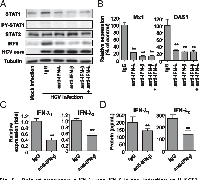 Fig. 5. Role of endogenous IFN-λs and IFN-β in the induction of U-ISGF3 components and U-ISGs in HCV-infected Huh-7–TLR3 cells. (A–D) Huh-7–TLR3 cells were infected with JFH1 HCVcc (MOI = 5) and cultured for 2 d. Next, 2,000 IU/mL of IFN-β–blocking antibody, 20 μg/mL IFN-λ–blocking antibody, or control IgG was added to the culture, and the cells were further maintained for 3 d and harvested. Immunoblotting of STAT1, PY-STAT1, STAT2, IRF9, and HCV core was performed (A), and the expression of Mx1 and OAS1 was examined by TaqMan real-time quantitative PCR (B). The expression of IFN-λ1 and IFN-λ2 was examined at the mRNA level using TaqMan real-time quantitative PCR (C) and at the protein level by ELISA (D). The data represent the means ± SEM (n = 3). **P < 0.01 compared with control.