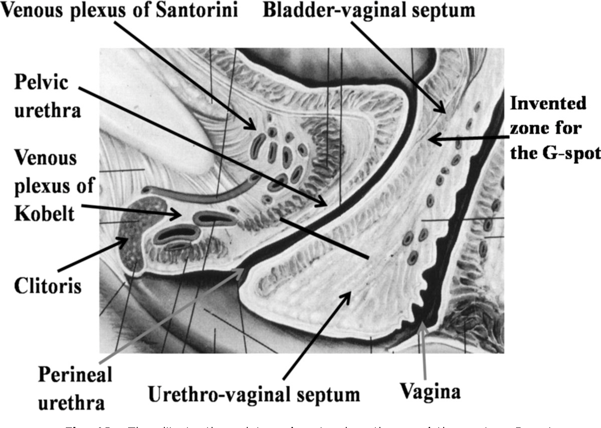 Figure 19 from anatomy and physiology of the clitoris vestibular the clitoris the pelvic and perineal urethra and the vagina pooptronica