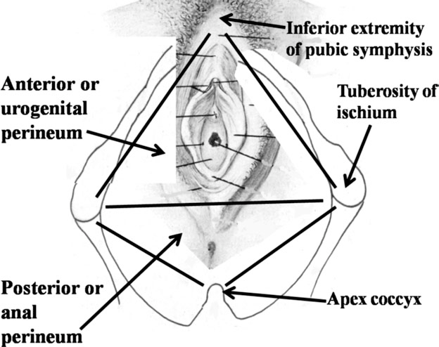 Anatomy And Physiology Of The Clitoris Vestibular Bulbs And Labia