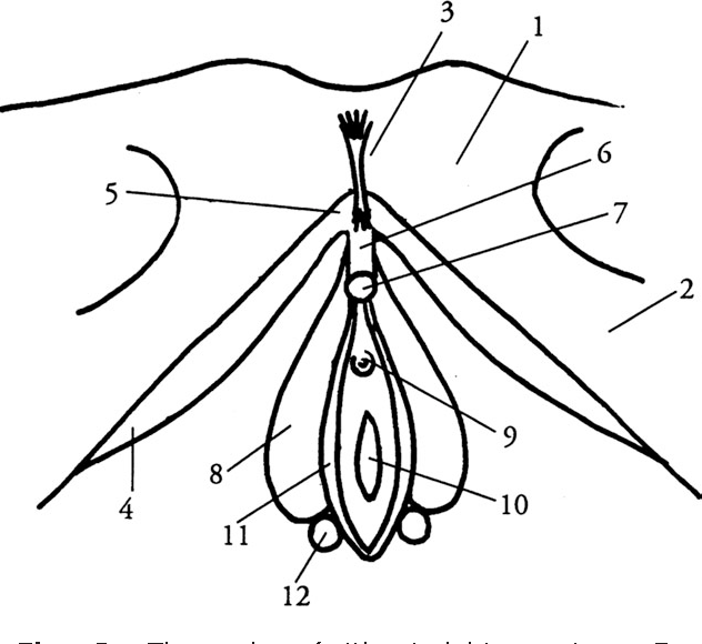 Figure 20 From Anatomy And Physiology Of The Clitoris Vestibular