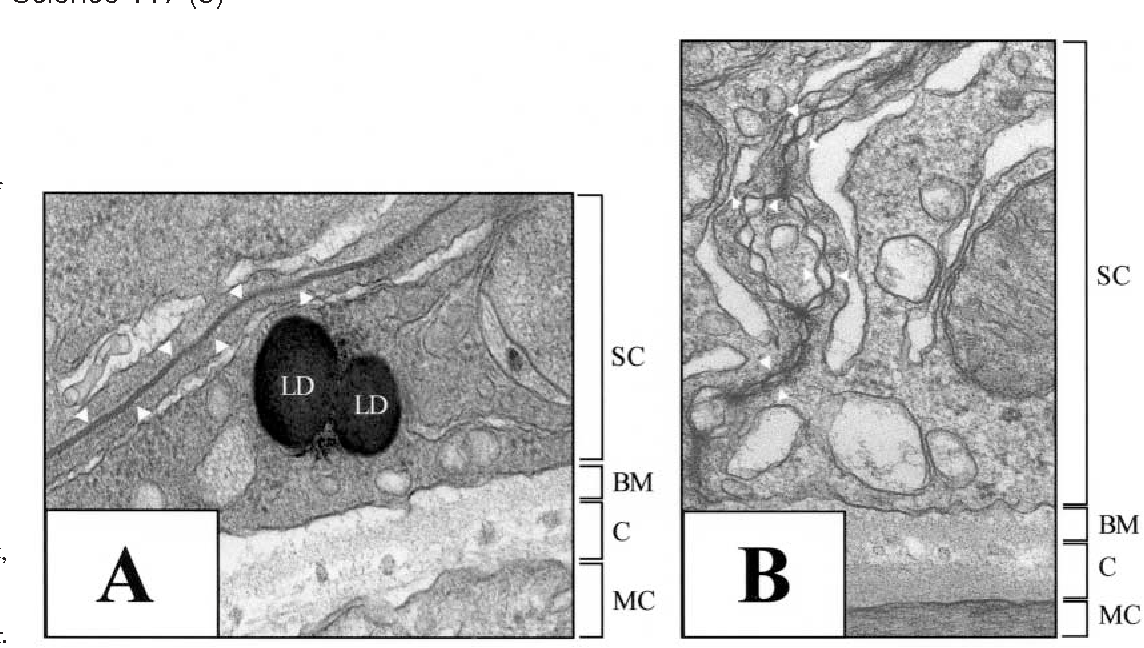 Fig. 1. Ultrastructural analysis of the integrity of the bloodtestis barrier (BTB) following treatment of rats with CdCl2 (3 mg/kg b.w. via i.p.). (A,B) Electron micrographs of (A) the BTB between two adjacent Sertoli cells at the seminiferous epithelium of a control rat, as an example of a tight junction (TJ), which appears as electron dense material (arrowhead). Magnification, ×67,500; (B) a rat testis 24 hours after CdCl2 treatment illustrating that the TJ were disrupted (arrowheads). Magnification, ×45,000. LD, lipid droplet; SC, Sertoli cell; BM, basement membrane; C, collagen network; MC, myoid cell layer.