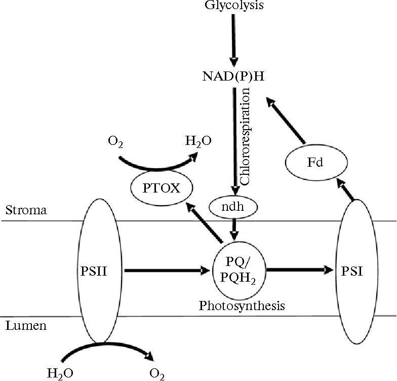 Regulation Of Electron Transport Pathways In Cells Of Chlamydomonas