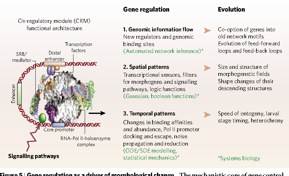Figure 5 from Evolution of anatomy and gene control - Semantic Scholar