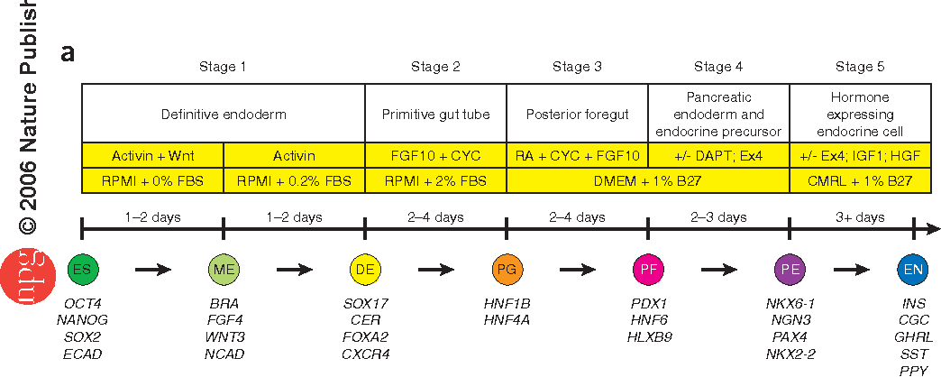 Figure 1 From Production Of Pancreatic Hormoneexpressing Endocrine