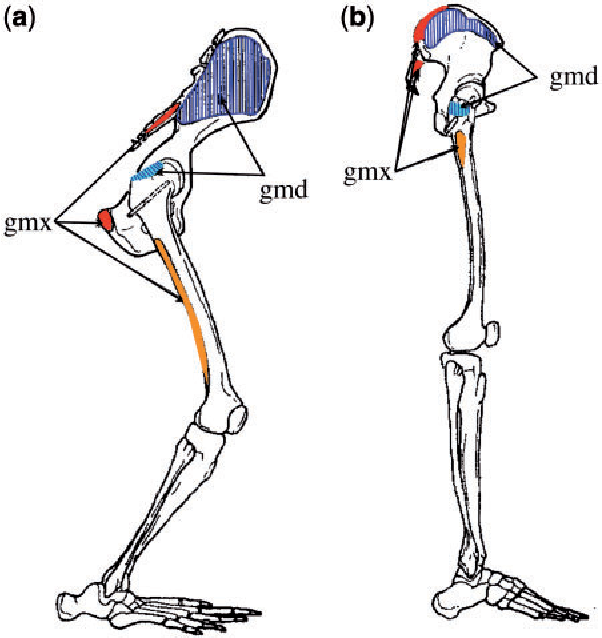 Figure 1 from Evolution of the human hip  Part 2: muscling the