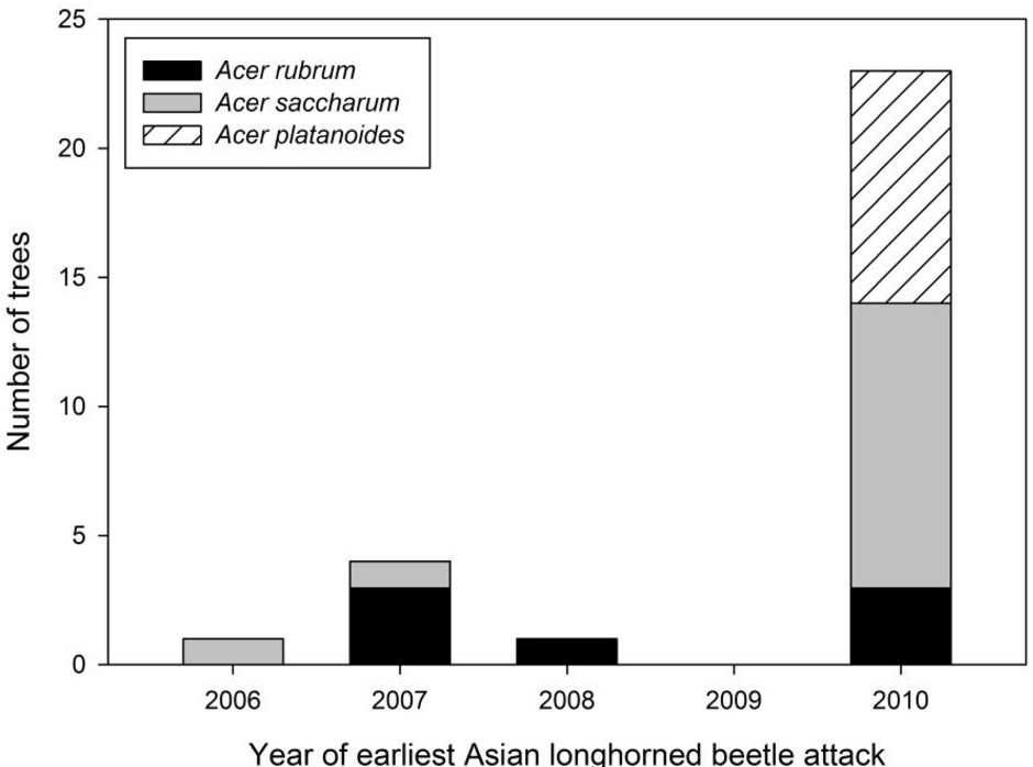 Figure 5. Distribution of age of earliest Asian longhorned beetle attack by Acer species in Boylston.