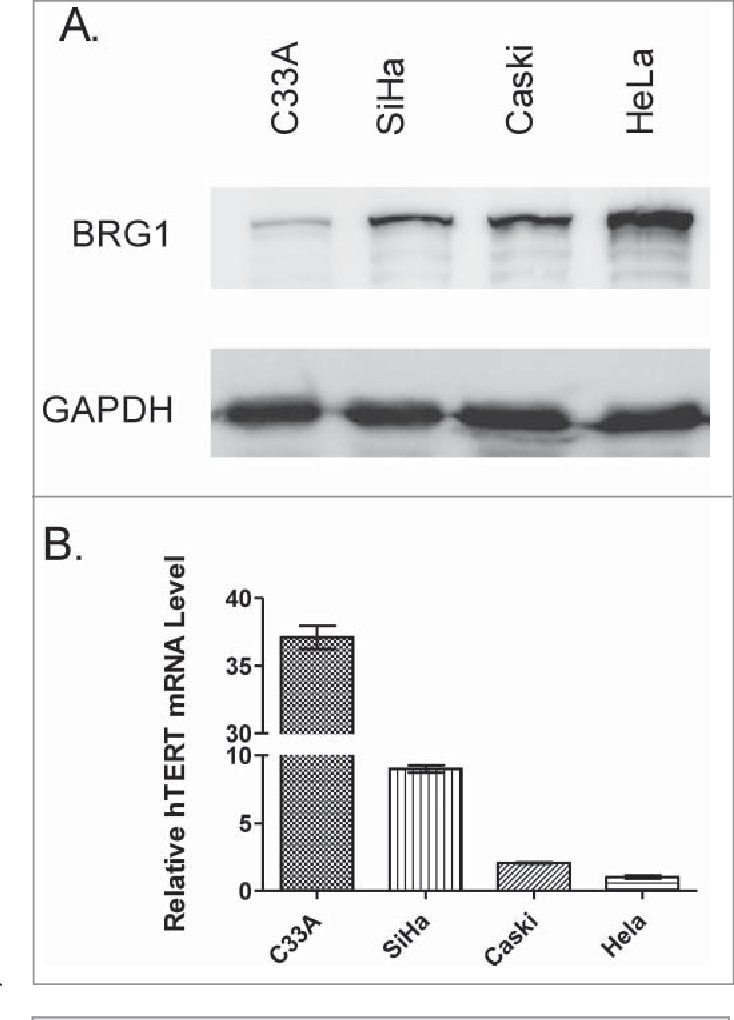 Figure 1. BRG1 protein and hTERT mRNA expression in human cervical cancer cell lines. (A) Western blot of BRG1 in cervical cancer cell lines with GAPDH as an internal control. (B) qRT-PCR data for hTERT mRNA in human cervical cancer cell lines. hTERT mRNA abundance was normalized to reference level in HeLa cells. Values are §SD of three independent experiments.
