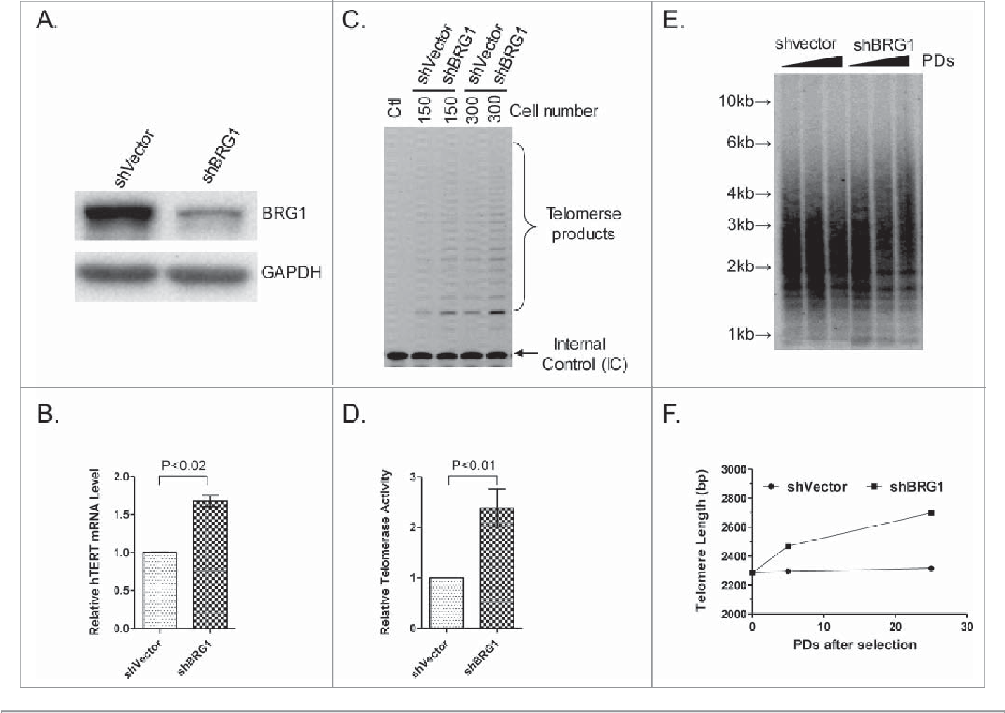 Figure 2. Effect of knockdown of BRG1 on hTERT transcription in HeLa cells. (A) Western blot showing BRG1 protein after BRG1 knockdown by shBRG1. (B) qRT-PCR quantification of hTERT mRNA in BRG1-depleted cells; shVector was used as a control. (C) TRAP assay in BRG1-depleted (shBRG1) HeLa cells; shVector heat- inactivated samples (Ctl) were used as controls. (D) Quantitation of data in (C), Graph shows mean § SD; Three independent experiments were performed. (E) TRF assay was performed in HeLa cells with or without BRG1-depletion; cells were cultured for different PDs (Population Doubling) after selection; ShVector was used as a control. (F) Quantification of data in (E). P values were calculated using the Student's t-test.