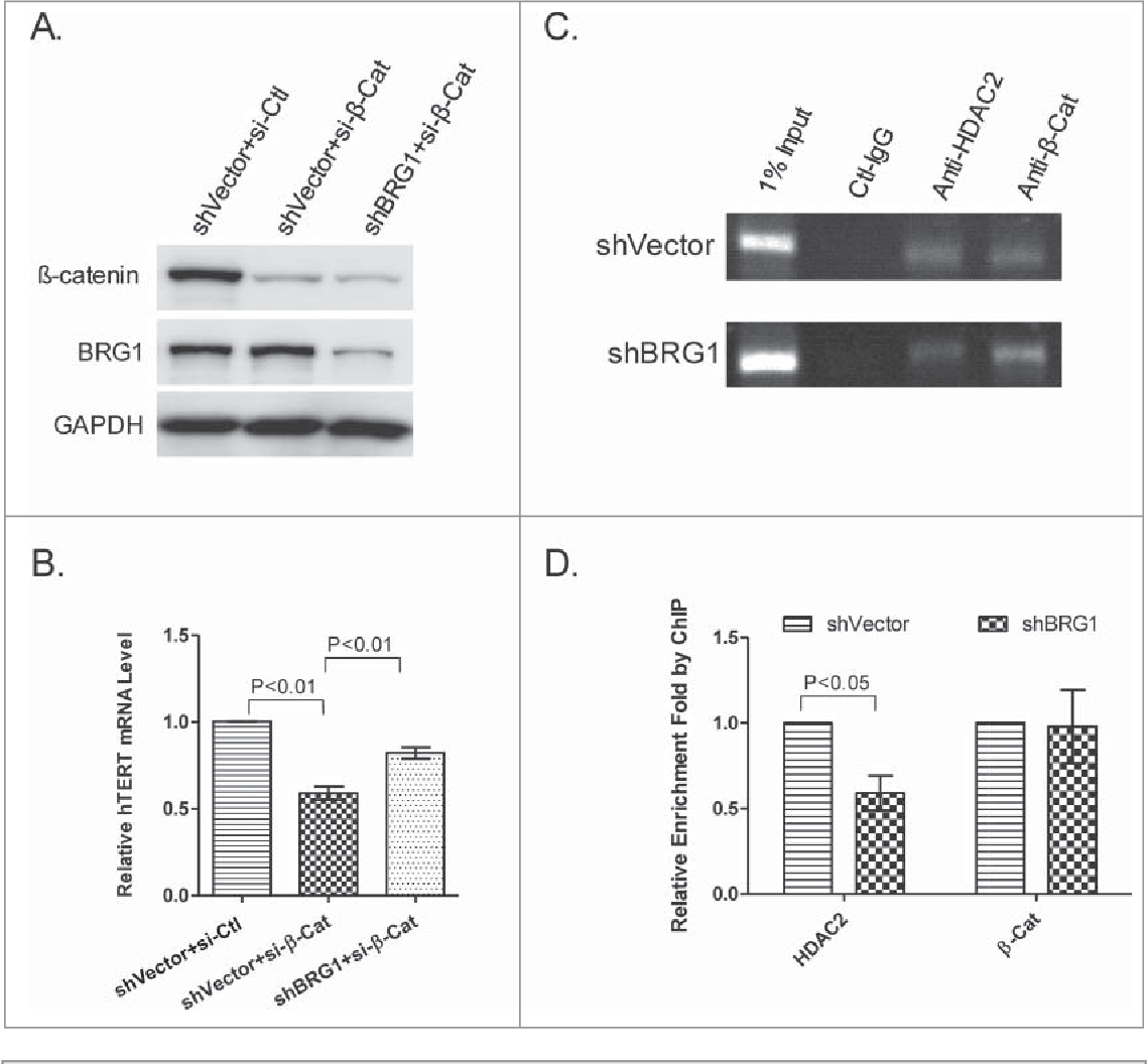 Figure 6. b-catenin and BRG1 regulate hTERT independently. (A) siRNA knockdown of b-catenin in the presence and absence of BRG1. BRG1 was depleted by shRNA as described above and shVector was used as a control. Western blot was used to determine the abundance of BRG1 and b-catenin. (B) qRT-PCR of hTERT mRNA in HeLa cells with b-catenin knocked down or with both b-catenin and BRG1 knocked down. (C) qPCR analysis of HDAC2- or b-catenin-immunopreciptated chromatin (ChIP) in BRG1-depleted HeLa (shBRG1) and in control cells (sh-Vector). (D) Quantitation of data in (C). Mean § SD are shown; Three independent experiments were performed. P values were calculated using the Student's t-test.