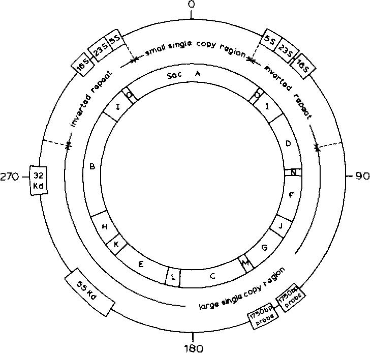 Mapping Of Genes On The Chloroplast Dna Of Spirodela Oligorhiza