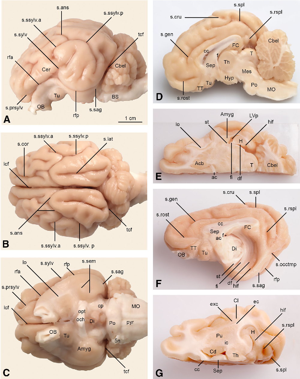 The telencephalon of the Göttingen minipig, cytoarchitecture and ...