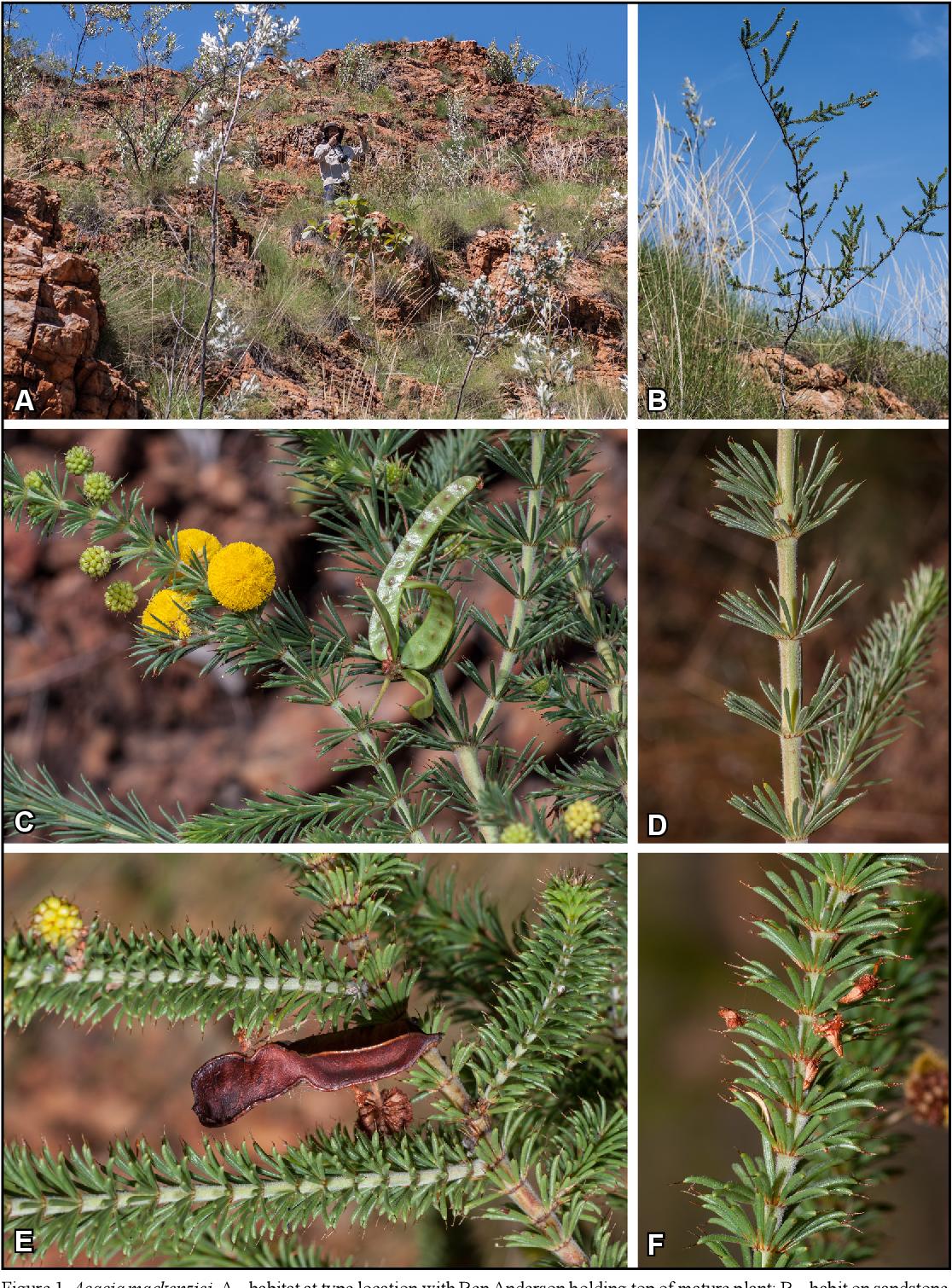 Acacia Cuspidifolia Semantic Scholar