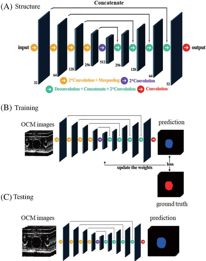 Figure 2 for Segmentation of Drosophila Heart in Optical Coherence Microscopy Images Using Convolutional Neural Networks