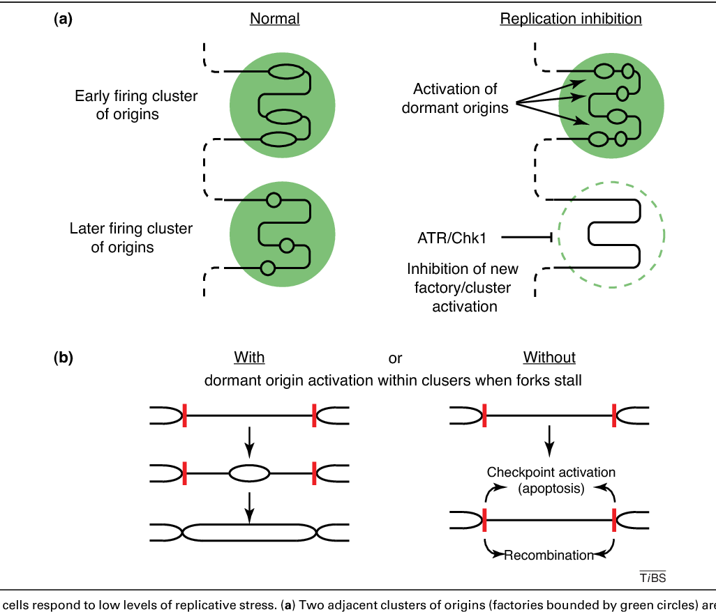 How dormant origins promote complete genome replication  - Semantic