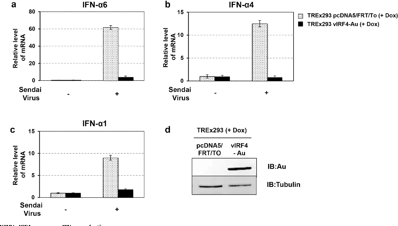 Fig. 2. KSHV vIRF4 suppresses IFN-a production. (aec) TREx293 pcDNA and TREx293 vIRF4/AU cells together with Doxy (1 mg/ml) treatment were infected with SeV. At 24 h post-infection, total RNA was extracted from the cells infected with 20 hemagglutination (HA) units of SeV. The expression of IFN-a1, IFN-a4, and IFN-a6 were examined by real time PCR. The data are represented as means of triplicate PCR analysis ± s.d. (d) The vIRF4 expression level was monitored by immunoblot (IB) analyses.