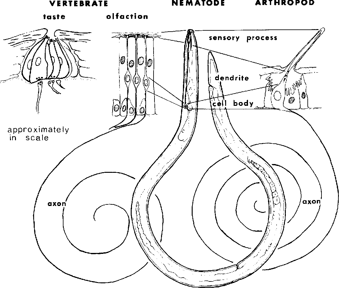 Figure 3 From Nematode Chemosensilla Form And Function Semantic